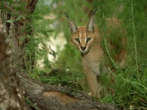 Caracal or African Lynx, Felis Caracal Native to Africa by Adam Jones