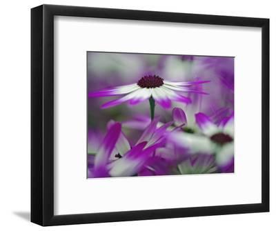 Close-up of purple flower, Keukenhof Garden, Lisse, Netherlands, Holland