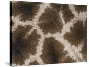 Close Up of the Color Pattern on Reticulated Giraffe Fur (Giraffa Camelopardalis Reticulata) by Adam Jones