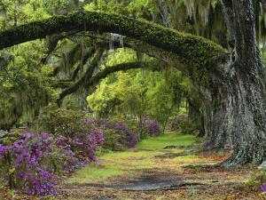 Coast Live Oaks and Azaleas Blossom, Magnolia Plantation, Charleston, South Carolina, USA by Adam Jones