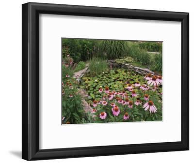 Coneflowers Around Water Garden, Louisville, Kentucky, USA
