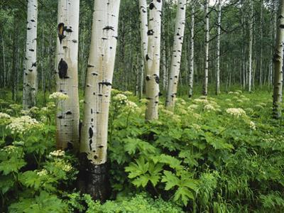 Cow Parsnip Growing in Aspen Grove, White River National Forest, Colorado, USA