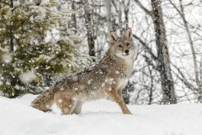 Coyote in snow, Montana