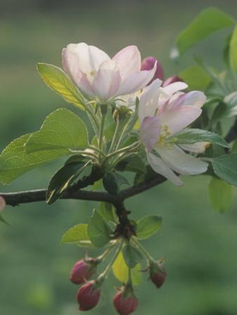 Crabapple Blossoms and Flower Buds, Malus