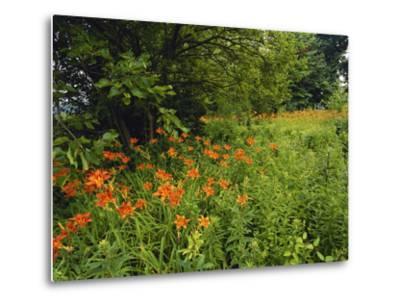 Day Lilies Growing Along Edge of Woods, Louisville, Kentucky, USA