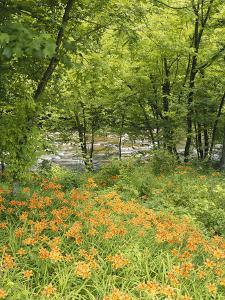 Day Lily Flowers Growing Along Little Pigeon River, Great Smoky Mountains National Park, Tennessee by Adam Jones