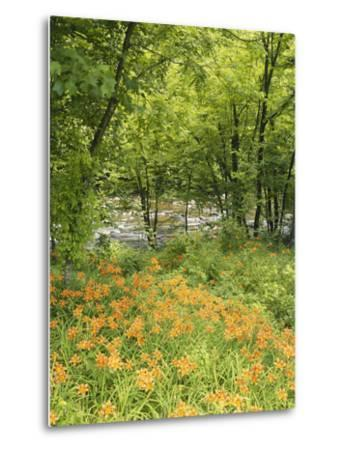 Day Lily Flowers Growing Along Little Pigeon River, Great Smoky Mountains National Park, Tennessee