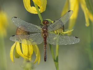 Dew-Covered Climber Dragonfly by Adam Jones