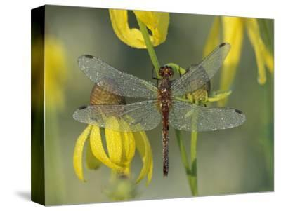 Dew-Covered Climber Dragonfly