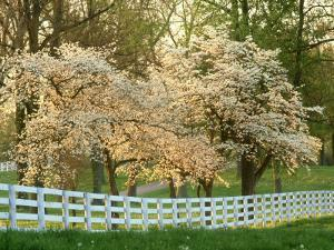Dogwood Trees at Sunset Along Fence, Kentucky by Adam Jones