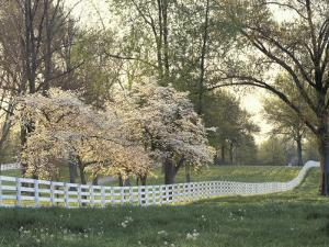 Dogwood Trees at Sunset Along Fence on Horse Farm, Lexington, Kentucky, USA by Adam Jones