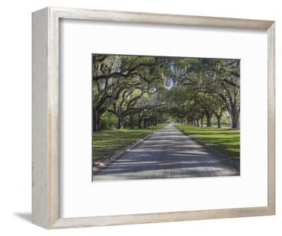 Driveway Beneath Stately Live Oak Trees Draped in Spanish Moss, Boone Hall Plantation