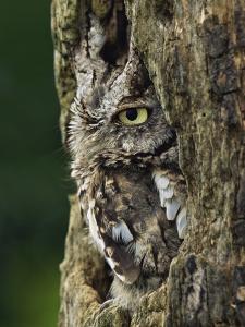 Eastern Screech Owl, Michigan, USA by Adam Jones