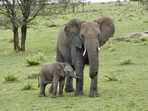 Female African Elephant with baby, Serengeti National Park, Tanzania by Adam Jones