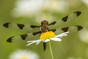 Female Blue Dasher dragonfly on daisy, Kentucky by Adam Jones
