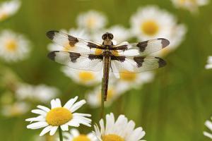 Female Blue Dasher Dragonfly on Daisy, Pachydiplax Longipennis, Kentucky by Adam Jones