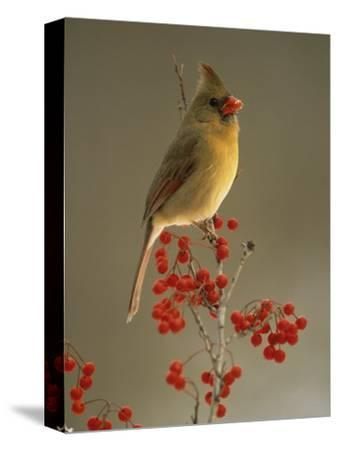 Female Northern Cardinal, Cardinalis Cardinalis, Among Hawthorne Berries
