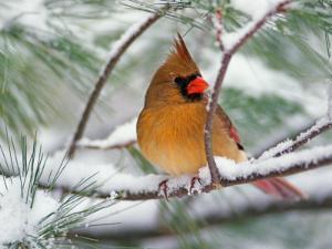 Female Northern Cardinal in Snowy Pine Tree by Adam Jones