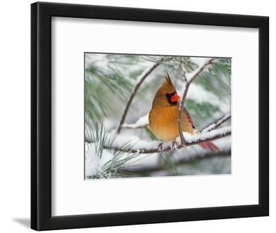 Female Northern Cardinal in Snowy Pine Tree