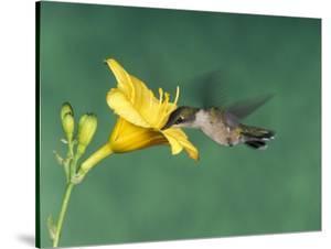 Female Ruby-Throated Hummingbird Feeding in Flight by Adam Jones