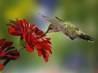 Female Ruby-Throated Hummingbird Feeding on Flower, Louisville, Kentucky