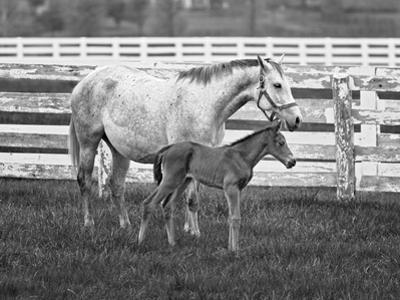 Female Thoroughbred and Foal, Donamire Horse Farm, Lexington, Kentucky by Adam Jones