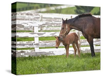Female Thoroughbred and Foal, Donamire Horse Farm, Lexington, Kentucky by Adam Jones