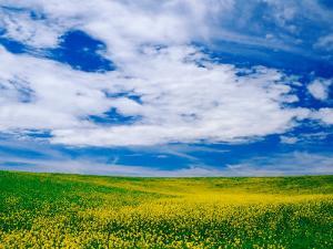 Field of Canola or Mustard flowers, Palouse Region, Washington, USA by Adam Jones