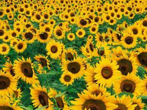 Field of Sunflowers, Frankfort, Kentucky, USA by Adam Jones