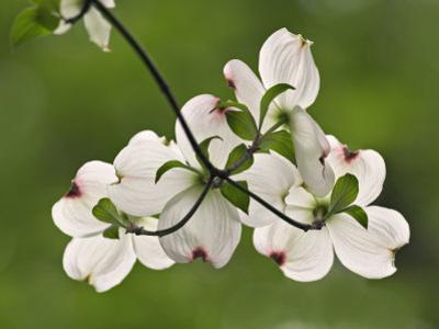 Flowering Dogwood Flowers, Cornus Florida, Louisville, Kentucky, USA
