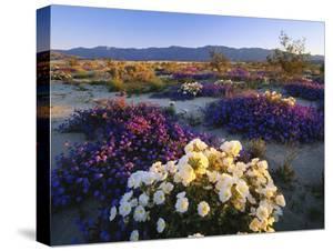 Flowers Growing on Dessert Landscape, Sonoran Desert, Anza Borrego Desert State Park, California by Adam Jones