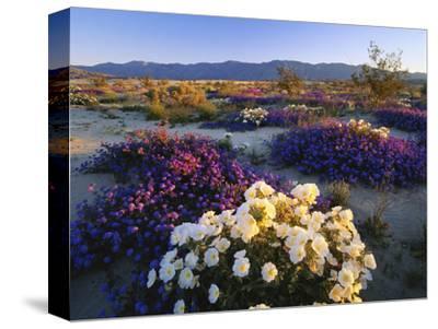 Flowers Growing on Dessert Landscape, Sonoran Desert, Anza Borrego Desert State Park, California
