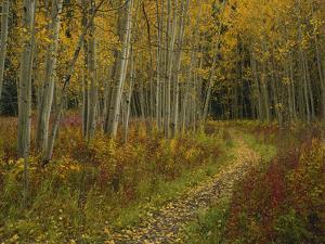 Footpath Through Autumn Aspen Trees, San Isabel National Forest, Colorado, USA by Adam Jones