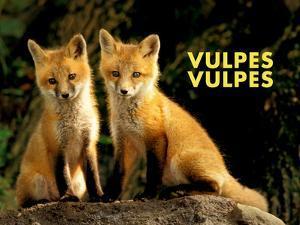 Fox (Vulpes Vulpes) by Adam Jones