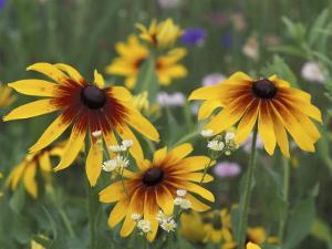 Gloriosa Daisy, Oldham County, Kentucky, USA by Adam Jones