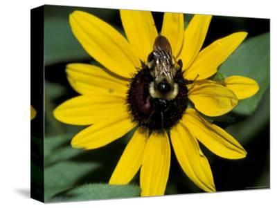 Golden Northern Bumble Bee on Black-Eyed Susan