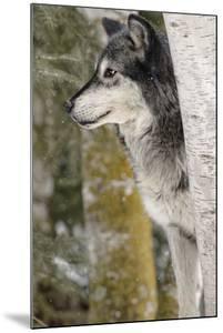 Gray Wolf in winter, Canis lupus, Montana by Adam Jones