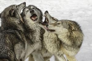 Gray Wolf, Montana by Adam Jones