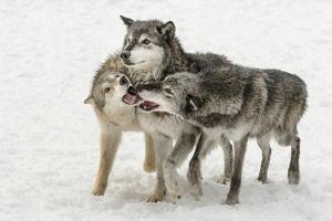 Gray Wolf pack behavior in winter, Canis lupus, Montana by Adam Jones