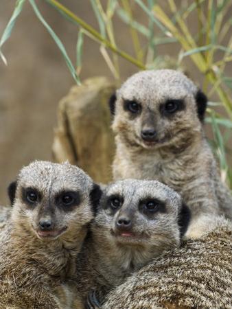 Group of Meerkats (Suricata Suricatta)