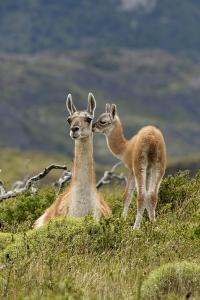 Guanaco and baby, Andes Mountain, Torres del Paine National Park, Chile. Patagonia by Adam Jones