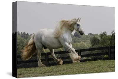 Gypsy Vanner Horse Running, Crestwood, Kentucky by Adam Jones