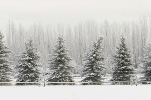 Heavy frost on trees, Kalispell, Montana by Adam Jones