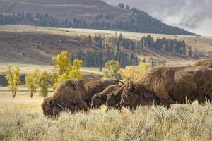 Herd of Bison in Fall, Lamar Valley, Yellowstone National Park, Wyoming by Adam Jones
