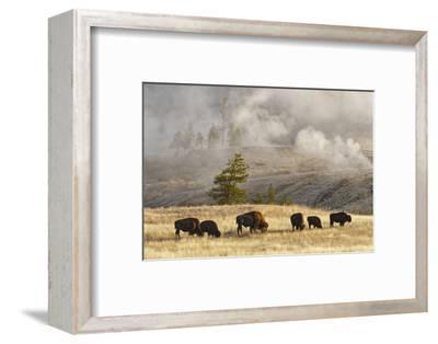 Herd of Bison Near Old Faithful Geyser Upper Geyser Basin, Yellowstone National Park, Wyoming