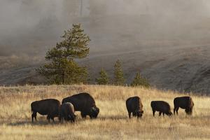 Herd of Bison, Old Faithful Geyser Upper Geyser Basin, Yellowstone National Park, Wyoming by Adam Jones