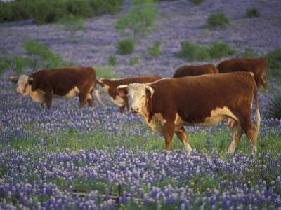 Hereford Cattle in Meadow of Bluebonnets, Texas Hill Country, Texas, USA by Adam Jones