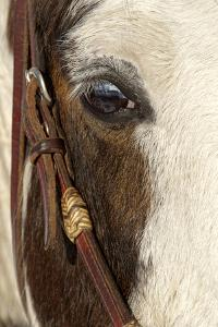 Horse close-up in winter, Kalispell, Montana. by Adam Jones