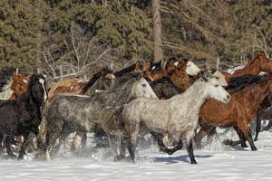 Horse roundup in winter, Kalispell, Montana. by Adam Jones