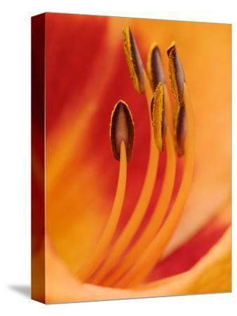 Hybrid Daylily